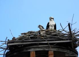 Ospreys: Bonnie & Clyde
