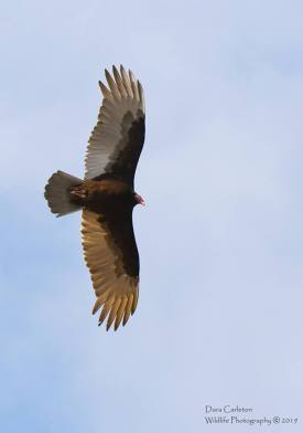 Turkey Vulture in all his/her glory. Vernon, VT April 2019.