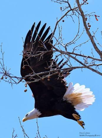 Female adult bald eagle. Counterpart to male bald eagle A over P. Brattleboro, April 2019