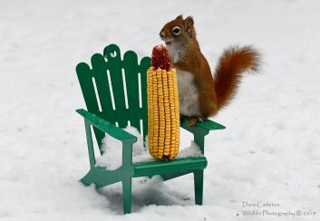 Corny Red Squirrel, Brookline VT