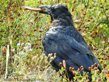 Raven, Yellowstone National Park