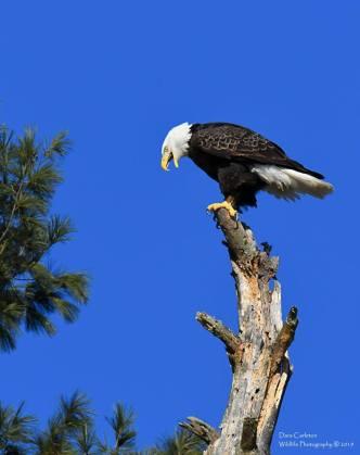 Walpole Nh Female adult bald eagle
