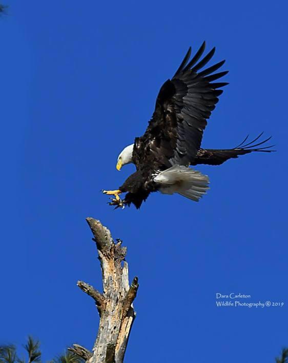 Female bald eagle
