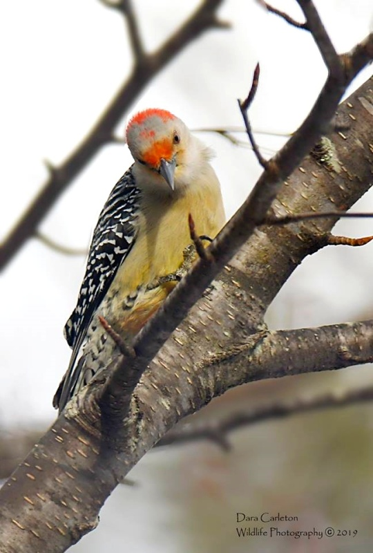 Red Bellied Woodpecker, Brookline VT