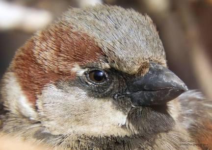 House Sparrow, Brattleboro VT
