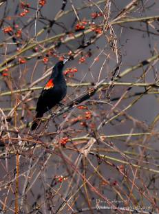 Red Winged Blackbird, Brattleboro VT