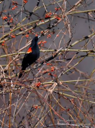 Red Winged Blackbird, Brattleboro VT