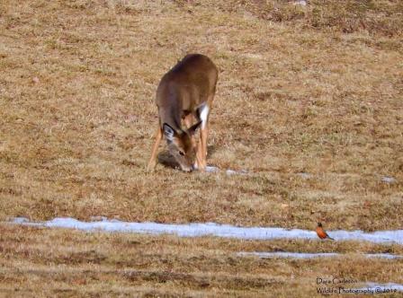 Deer and robin, Brookline, VT