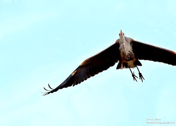 Great Blue Heron, Hinsdale NH