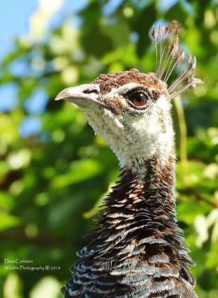 Peacock, Rexburg Idaho