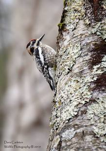 Yellow Bellied Sapsucker, Brookline VT