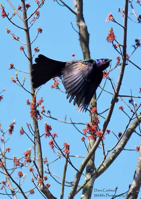 Grackle, Brattleboro VT