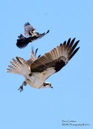 Osprey and grackle