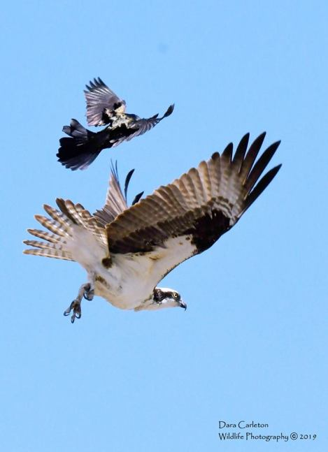 Osprey and grackle