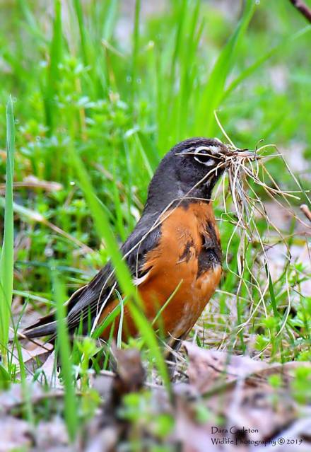 Robin, Brattleboro VT