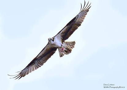 Osprey with fish