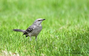 Northern Mockingbird, Brattleboro VT