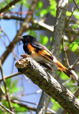 American Redstart, Hinsdale NH
