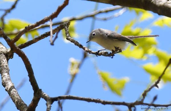 Blue Gray Gnatcatcher, Hinsdale NH