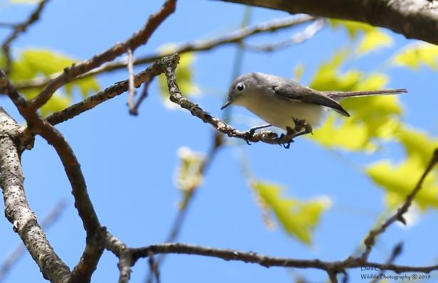 Blue Gray Gnatcatcher, Hinsdale NH