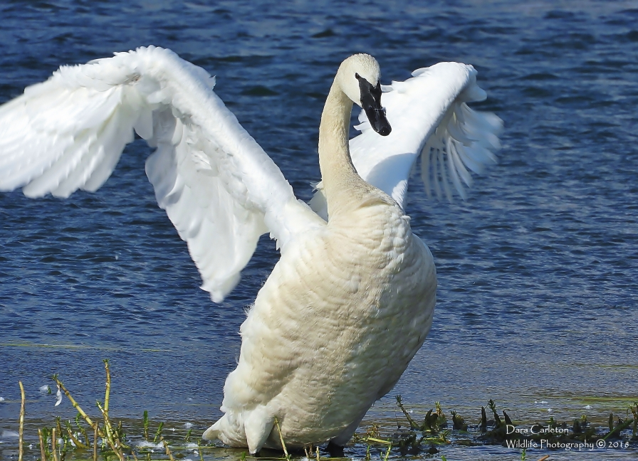 Trumpeter Swan, Yellowstone National Park