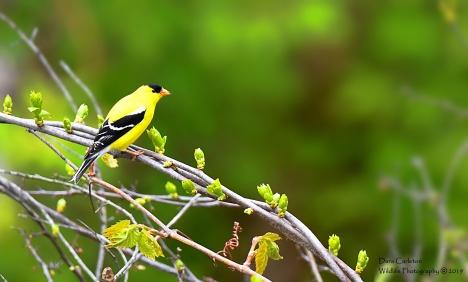 American Goldfinch, Brattleboro VT