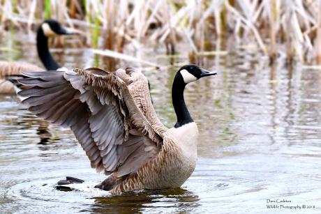 Canada Goose, Brattleboro VT