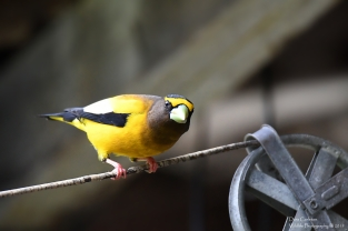 Male Evening Grosbeak, Wardsboro, VT