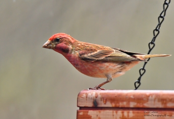Purple Finch, Brookline VT