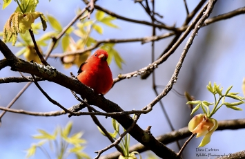 Scarlet Tanager, Hinsdale, NH