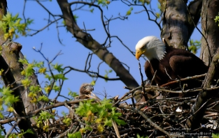 Two eaglets confirmed!