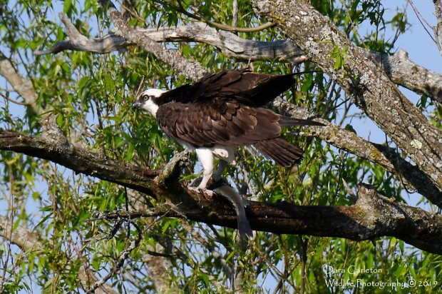 Osprey and his lunch