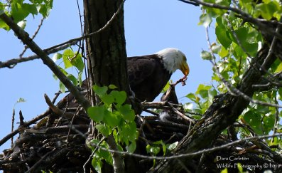 Adult male bald eagle feeding its young