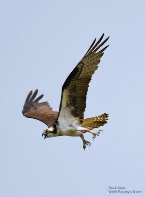 Adult osprey
