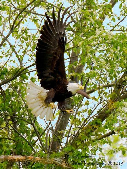 Vernon, VT Adult Female Bald eagle