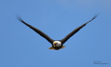 adult bald eagle hatched in MA