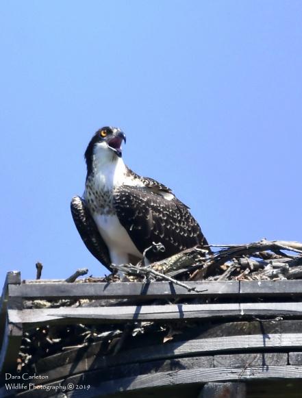 2019 Juvenile osprey