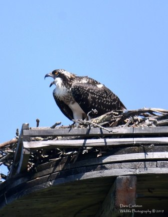 Feed Me! (Juvenile Osprey)