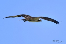 Juvenile osprey in flight