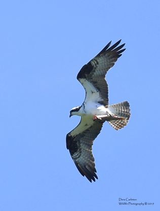 Clyde - male adult osprey - with a sushi delivery