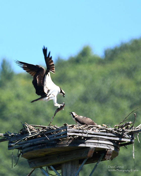 Clyde - adult male osprey - dropping off lunch to one of his juveniles