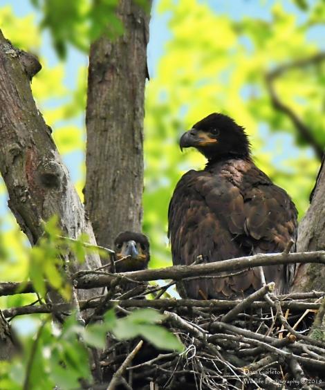 Juvenile bald eagles, Vernon VT