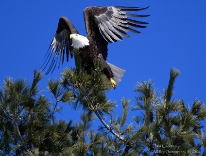 Adult female bald eagle (H4), Wa;lpole NH