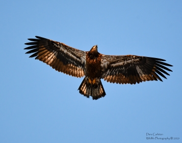 This juvenile bald eagle appears to be roughly 2 years of age.