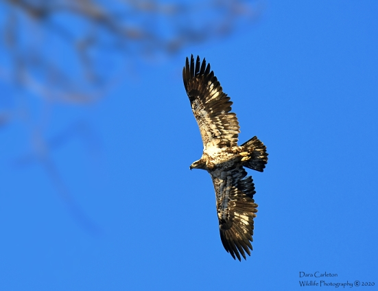 This is an unusually white chest for an eagle. It makes it harder to guess its age, but I believe 2-3 years old.
