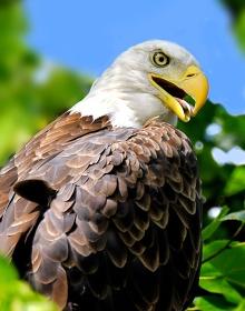 Adult bald eagle, Putney VT