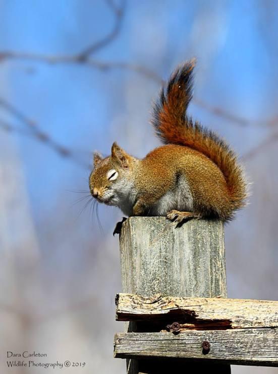 Red squirrel, Brookline VT