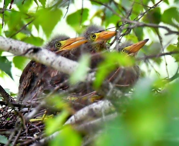 Juvenile green herons, Brattleboro VT