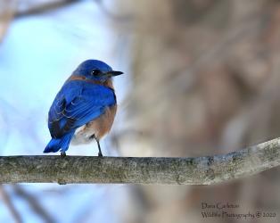 BLUEBIRD HINSDALE 1.1.20 1