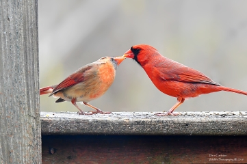 Kissing cardinals, Brookline VT